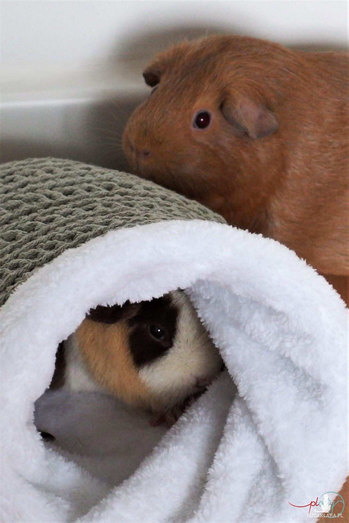 Norka dla świnki morskiej, domek dla gryzoni